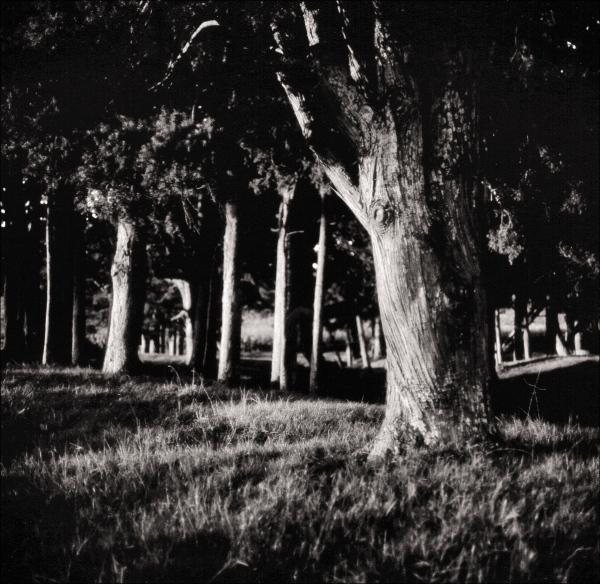 Totara Tree