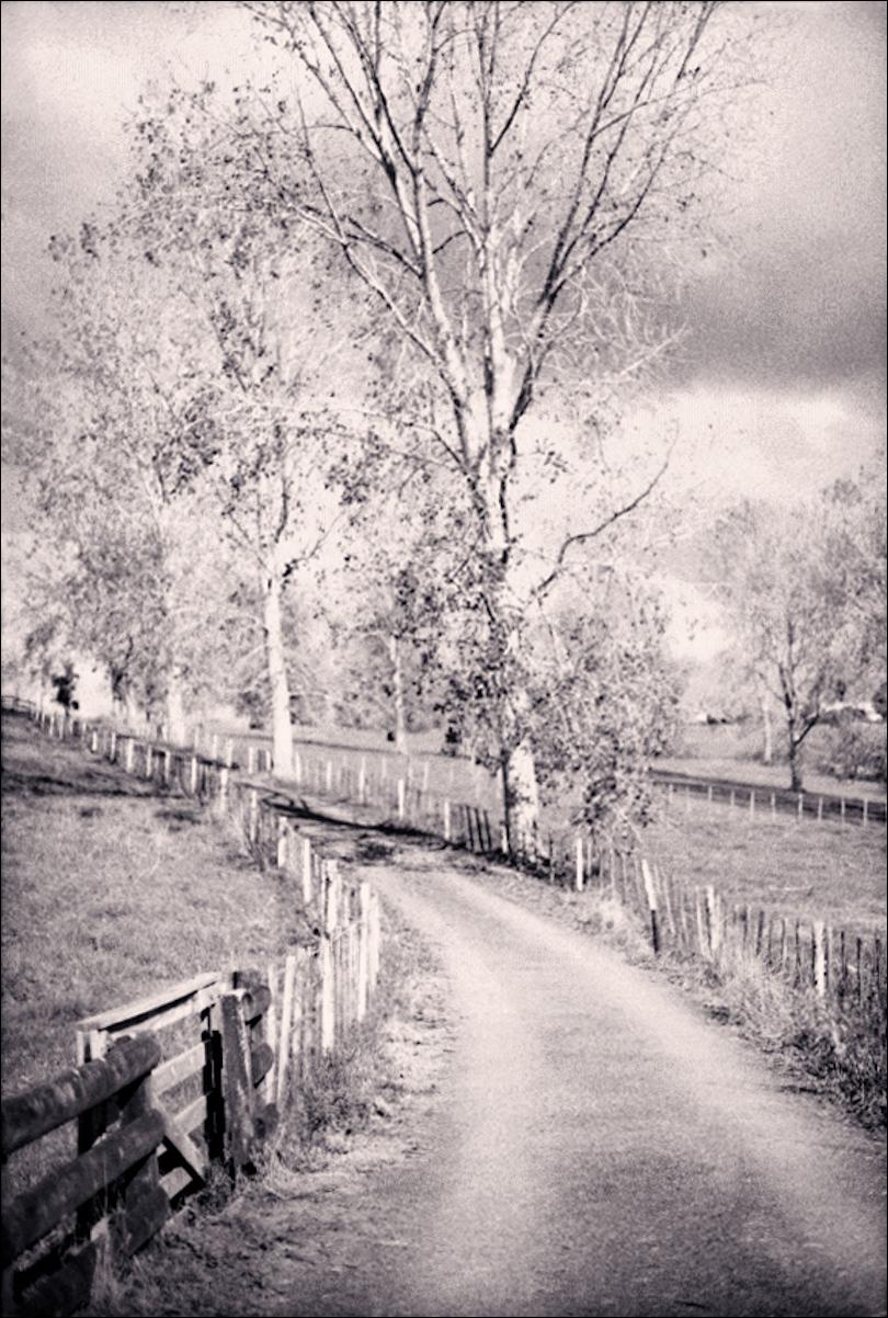 Poplars At Midday