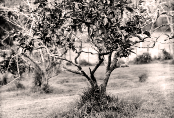 Grape Fruit Tree
