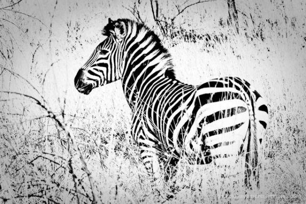 Young Zebra blending with bush environment