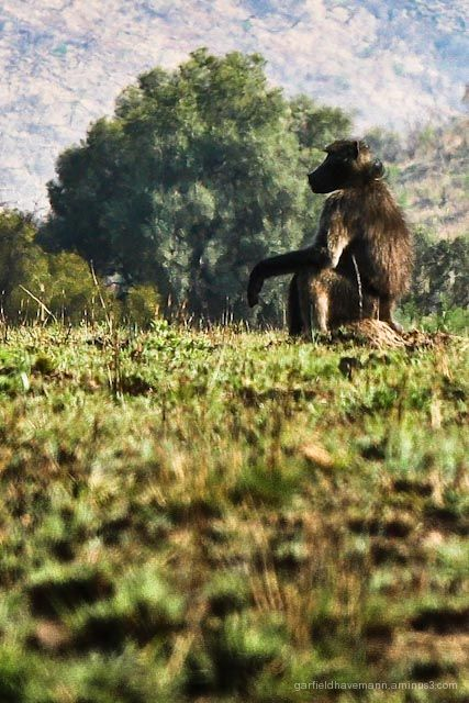 Baboon staring in deep thought