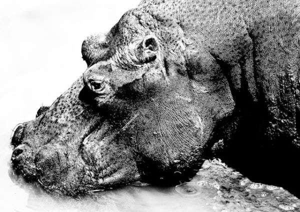 A black&white close-up photo of a hippopotamus