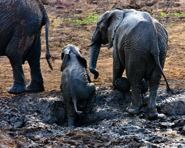 Mother elephant waits on child to get out of mud
