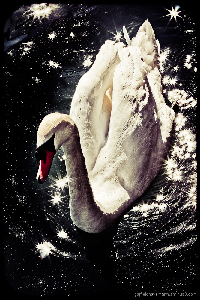A swan shot from above creating a constellation