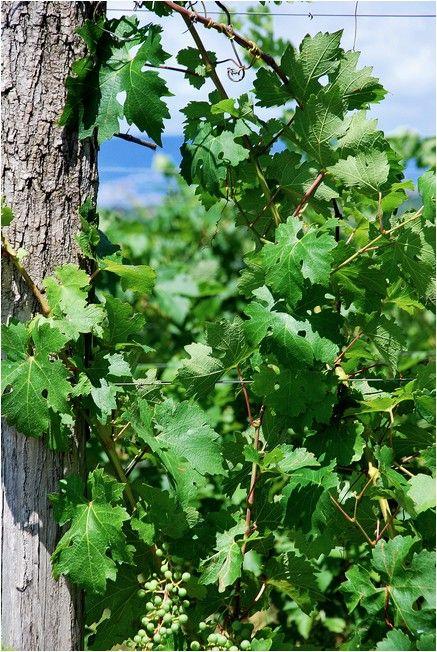 Vignoble Slovène