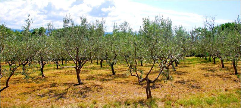Olivier vs oliviers