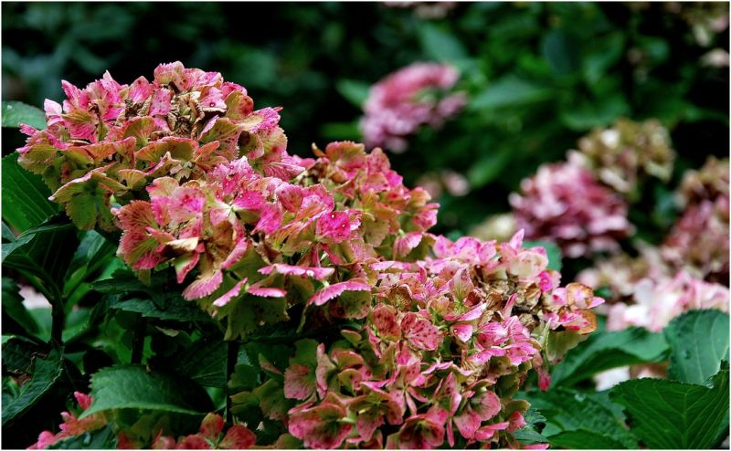 Hortensia, couleur d'automne...