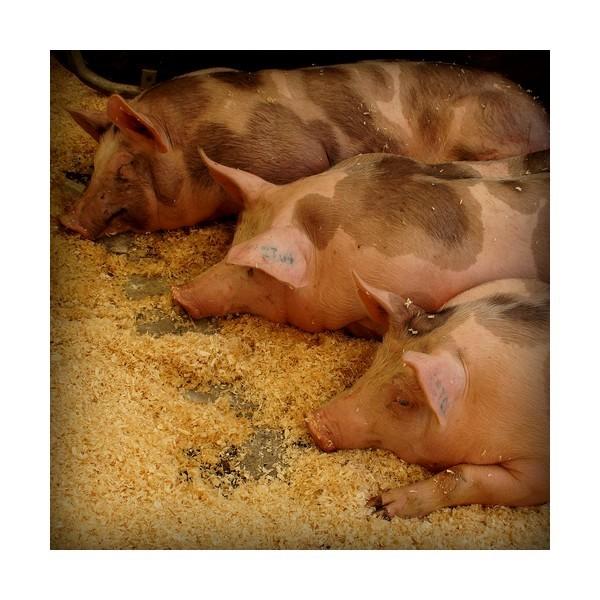 Les 3 p'tits cochons...