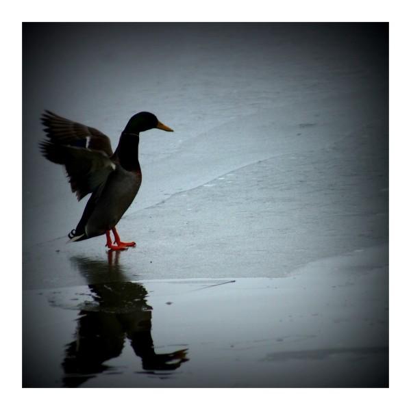Un froid...de canard.