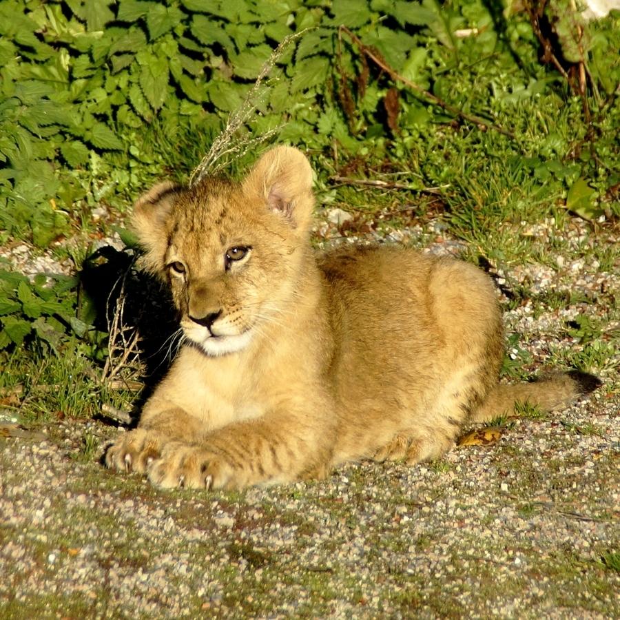 Le lionceau...