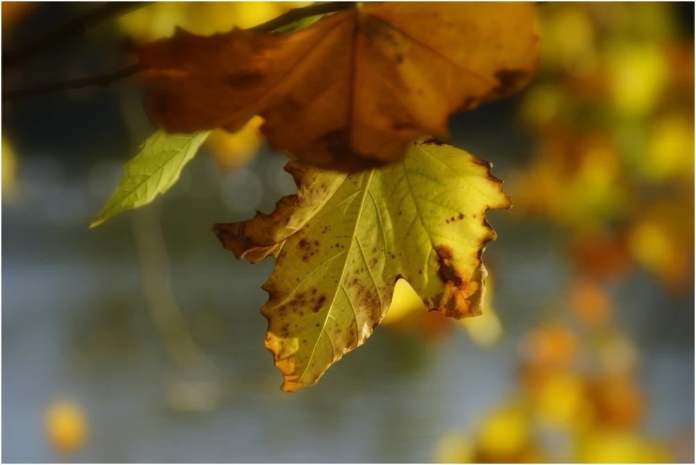L'or d'automne...