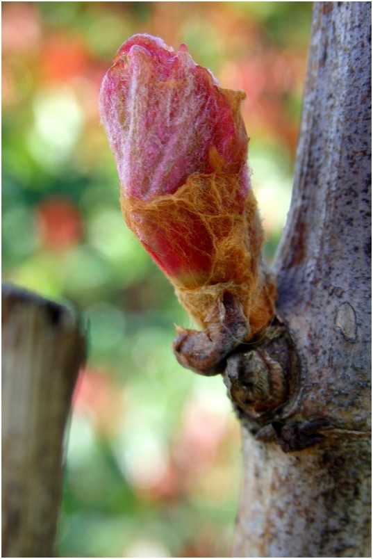Bougeon de vigne...