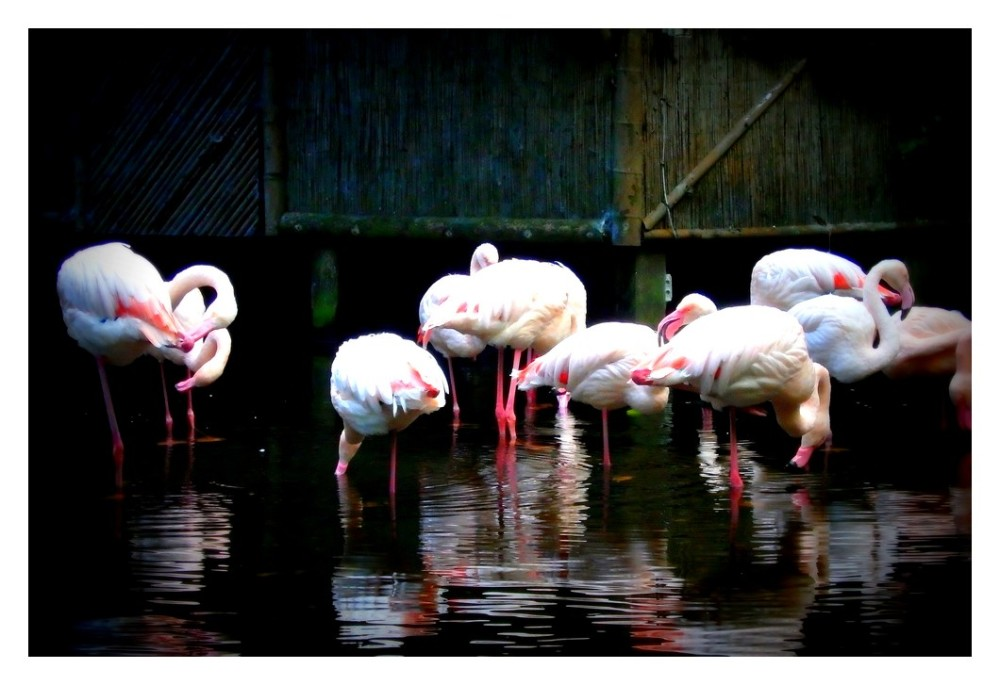 Les flamants roses...