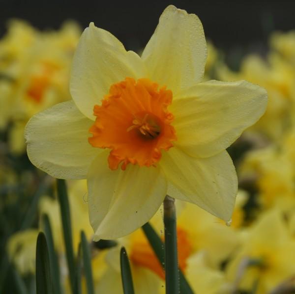 Narcisse...
