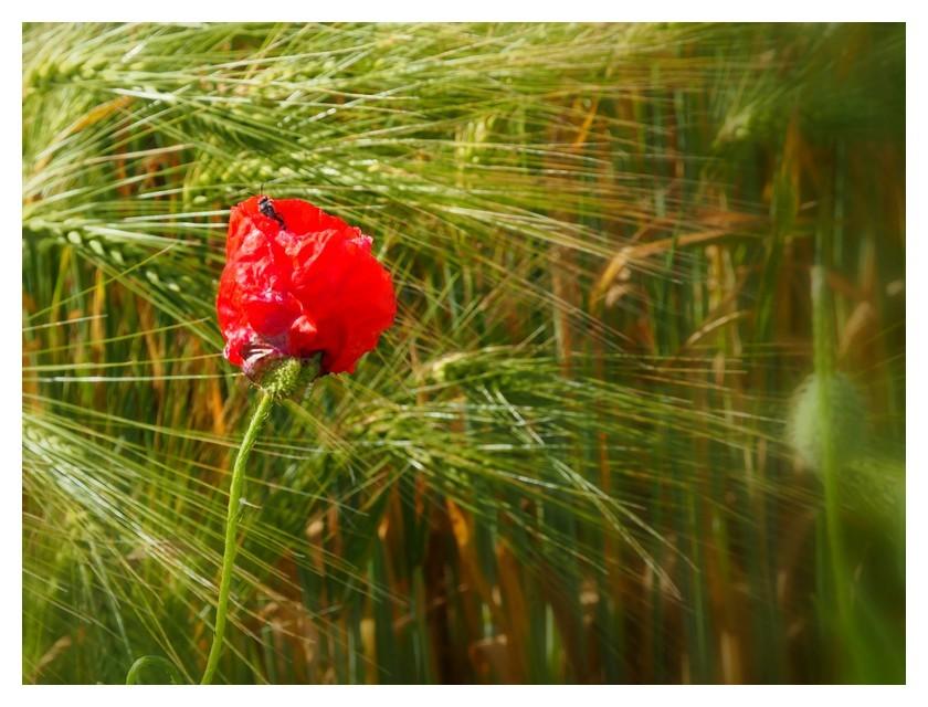 Fleur des champs...