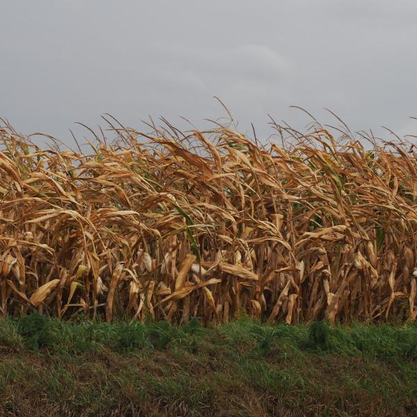 les maïs...