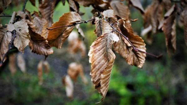 Toutes les feuilles mortes ne se ramassent pas...