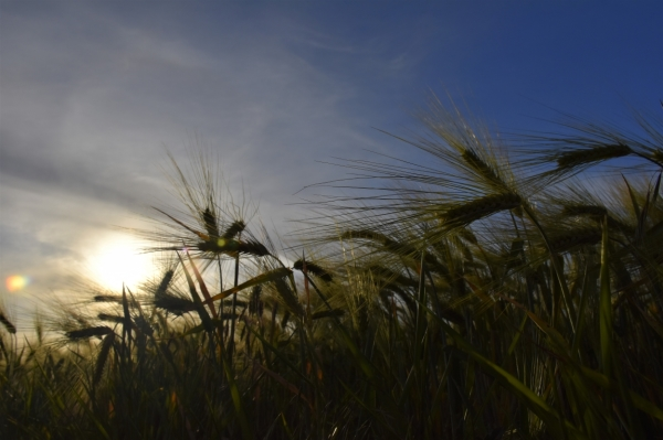 Le blé qui lève...