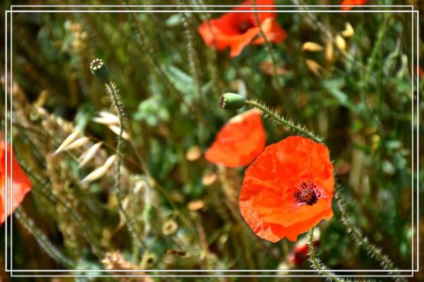 Du rouge dans nos champs...