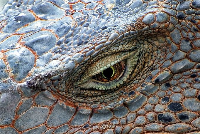 closeup of iguana eye