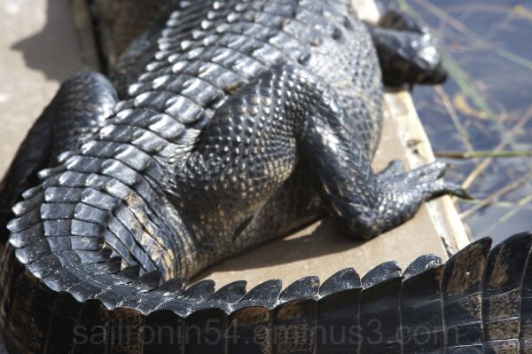 American alligator sunning himself on the dock