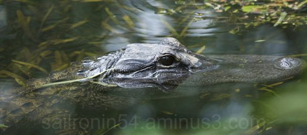 head shot of american alligator in the water