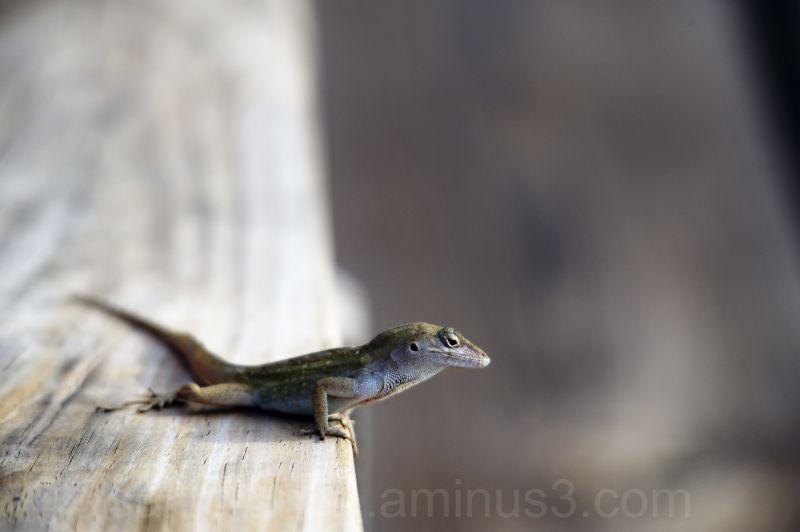 Brown anole lizard on a handrail