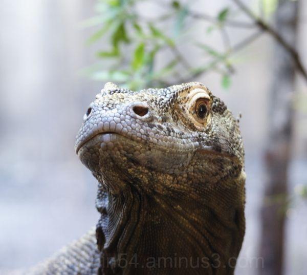 Komodo Dragon portrait