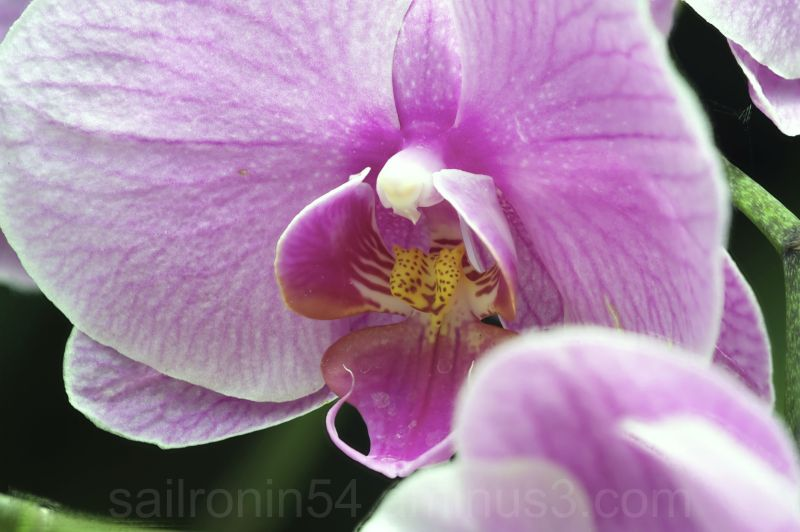 Pink moon orchid