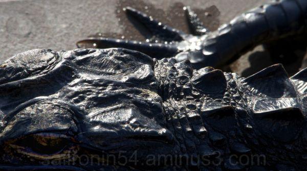 Alligator closeup with foot