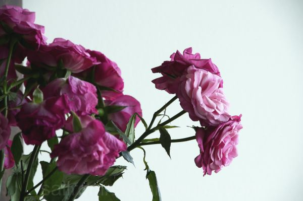 pink roses against white background