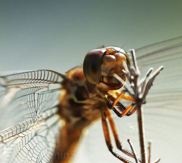 macro shot of wandering glider dragonfly