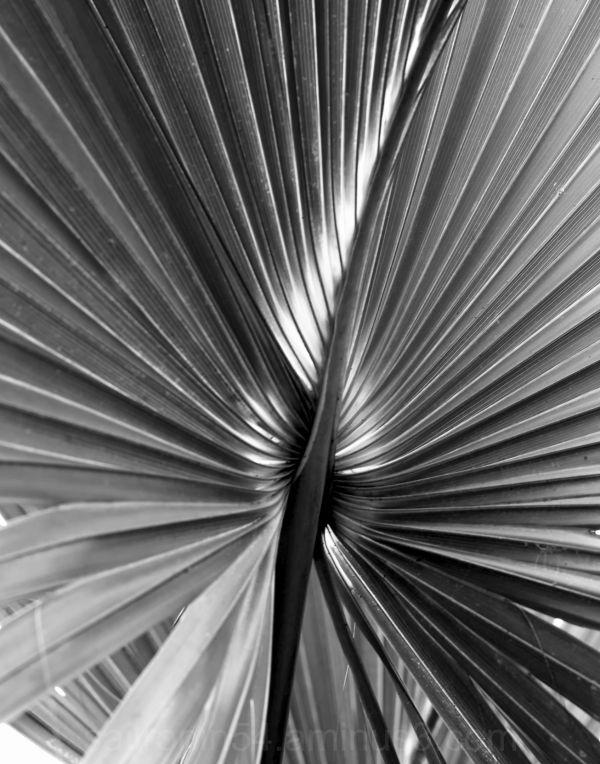 Palm frond B&W #2