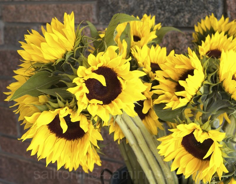 Sunflowers on Worth Ave, Palm Beach Florida