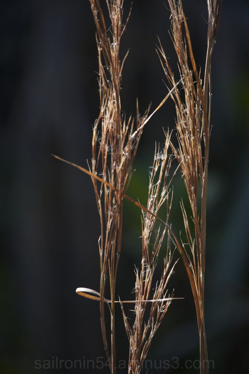 grass seeds in the swamp