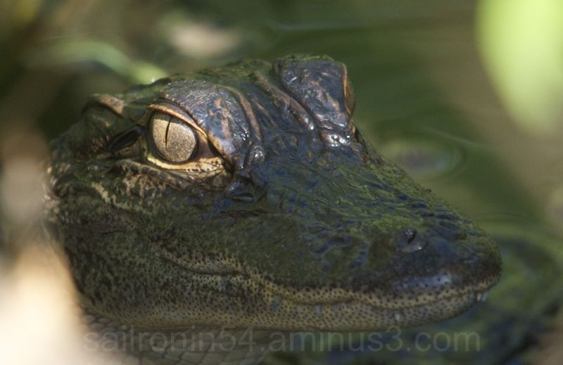 Baby American Alligator close up head shot