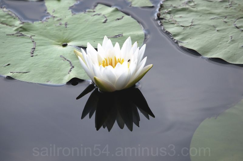 White water lily with green pads on black water