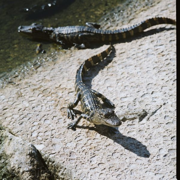 two Alligator pups on boat ramp near water