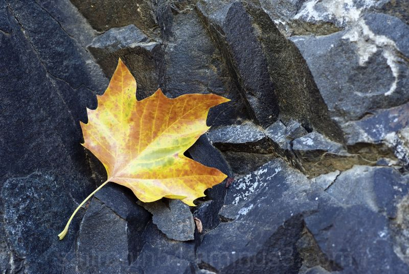 Yellow leaf and rock