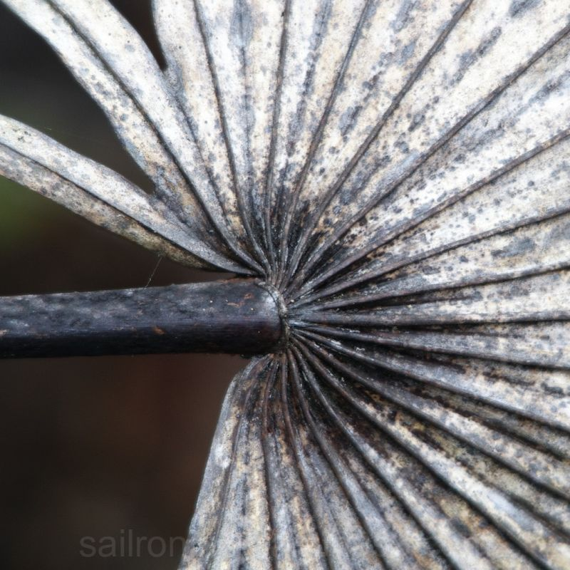 Dried Palmetto frond