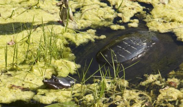 Florida Softshell Turtle (Trionyx ferox) in pond
