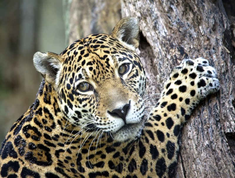 Female jaguar climbing tree