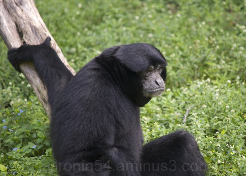 Male Siamang sitting at Palm Beach Zoo