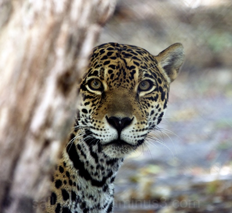 Female jaguar peeking from behind tree