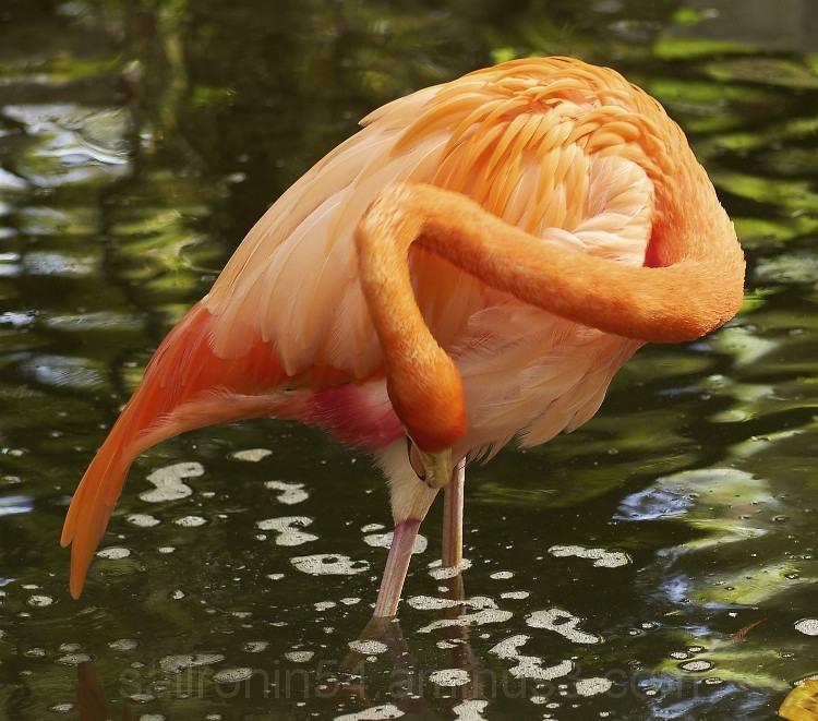 American Flamingo preening orange feathers water