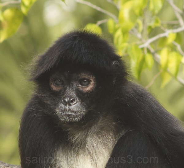 White chested spider monkey in Palm Beach zoo face