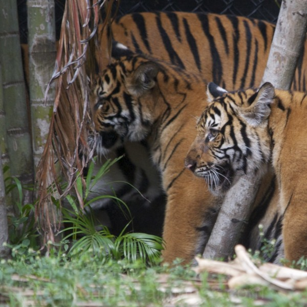 Two tigers, mother and 2 cub in Palm Beach zoo