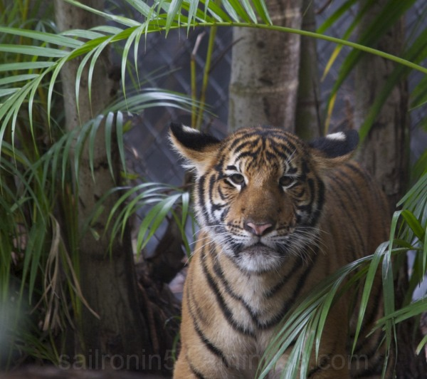 Face view of tiger cub in Palm Beach zoo