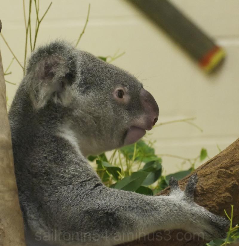 Koala at  Palm Beach Zoo right side profile