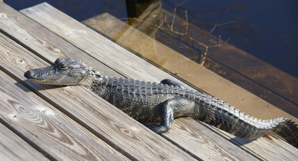 Alligator on the steps